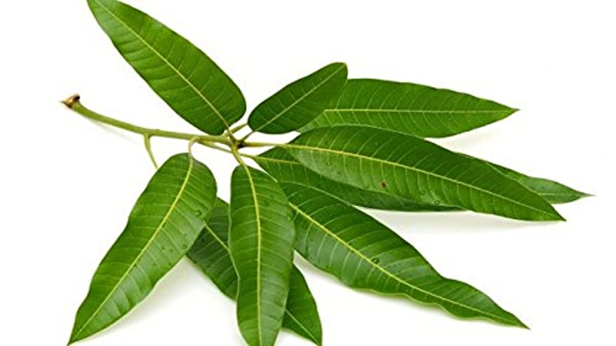 血統ヒステリック糞一般的な供養キット供養セット(マンゴーLeaves )