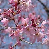 桜[サクラ・エドヒガン系]:紅枝垂れ(ベニシダレ)接木苗4号ポット
