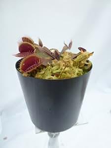 """食虫植物 Dionaea Muscipula""""Red Dragon"""" (ディオネア マスシプラ """"レッドドラゴン"""")EU輸入品"""
