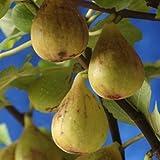 イチジク:ジャンボイチジク4号ポット[フランス原産の最大級のいちじく・夏秋兼用種][苗木] ノーブランド品