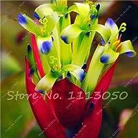 10:80個の新しい巨大なアナナス、珍しいテワカンアナナス、ジューシーなサボテンの種、家庭菜園のための鮮やかなターコイズ色の花盆栽