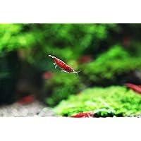 Sinbad (シンドバッド) スーパーレッドチェリーシュリンプ 極火蝦 20匹 (+1匹補償付)