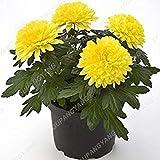 菊の種を植える家の庭のための200PCSレア盆栽菊の種子多年生の鉢植えの菊の花の種子黄色マリーゴールド