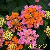 半ツル性ランタナ コバノランタナ 【オレンジ】 1株