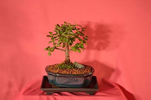 有機種子だけでなく、植物:INDOOR BONSAI、MINI JADE、(MONEY)100 SEEDS歳、フェリーでSTYLE