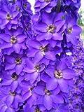 【PLANT】Delphinium Purple Velvet デルフィニウム・パープル・ベルベット・苗