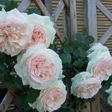 バラ苗 ブランピエールドゥロンサール 国産大苗6号スリット鉢 つるバラ(CL) 返り咲き アンティークタイプ 白系