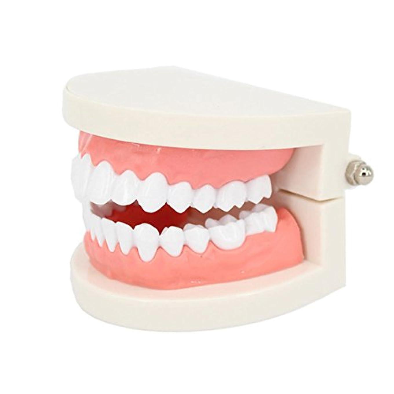 マラドロイトわかりやすい競争ROSENICE 歯科医 歯列模型 歯は着脱可能 指導用模型