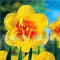 種子パッケージ:100個水仙盆栽、ラッパズイセン、盆栽種子ダブルALS AbsorptionSeed DIYホームガーデンシード:23