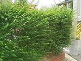 プリペット庭木常緑樹(エクステリア目隠し)