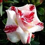 ホット販売盆栽アデニウムObesumシーズ虹砂漠は種子8スタイルセレクターローズの1pcsバルコニーの花の種