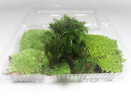 【 翔美苑 】苔 3種セット ヒノキゴケ アラハゴケ スナゴケ 1パック テラリウム 用