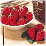 ブランド いちご 苺 食べ比べ ポット苗 1株 【とよのか】摘みたてを味わう悦び