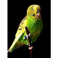ArtzFolio Female Green Budgie Bird Unframed Premium Canvas Painting 16 x 21.4inch
