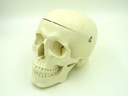 頭蓋骨 実物大 超精密 模型 顎関節 可動 タイプ 歯科 耳鼻科 眼科 学校教材用 ドクロ スカル ガイコツ 骨…
