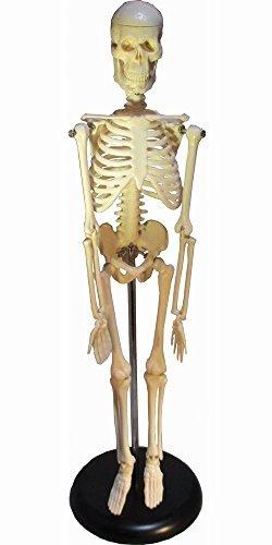 45cm 人体 骨格 模型 縮尺 1/4  直立 スタンド 付 医学 医療 整体 マッサージ 学校 教材 フィギュア インテリア 飾り などに