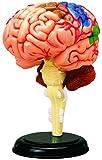 青島文化教材社 スカイネット 立体パズル 4D VISION 人体解剖 No.12 脳解剖モデル