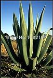 テキーラシード20枚送料無料リュウゼツランtequilanaテキーラリュウゼツランエキゾチックSEEDSホームプラントの多肉植物