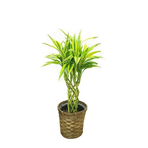 ミリオンバンブー 鉢カバー付 観葉植物 インテリア 中型 ミニ...