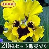 パンジー フリル咲き フリズルシズル イエロー 10.5cmサイズ大ポット 20ポットセット *お届け地域によっては別途差額送料が発生する場合が有ります。 パンジー ビオラ すみれ 苗 寄せ植え