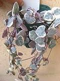 多肉植物 ハートカズラ (ラブチェーン) 斑入り品種 レディハート ラベル付き3号苗