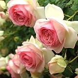 バラ苗 ピエールドゥロンサール 国産大苗裸苗 つるバラ(CL) 返り咲き 複色系