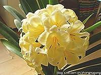 安いクンシラン属の種、美しい鉢植え、24色Chooe、Bonaiバルコニーの花、庭の装飾プラムへ