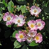 バラ苗 バレリーナ 国産大苗6号スリット鉢 オールドローズ つるバラ 四季咲き ピンク系