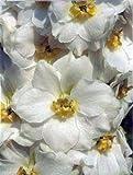 【PLANT】Delphinium Oliver Poppleton デルフィニウム・オリバー・ポップルトン・苗