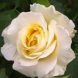 バラ苗 和音(わおん) 国産大苗6号スリット鉢 フロリバンダ(FL) 四季咲き中輪 黄色系