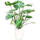 モンステラ 観葉植物 インテリア 大型 大 ホワイトセラアート鉢 8号