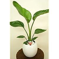 緑俱良部 【観葉植物】ストレリチア・オーガスタ 6号ボール陶器鉢(鉢カバー製)(白)