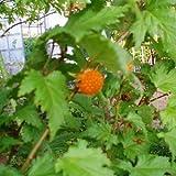 日本の木いちご(キイチゴ):モミジイチゴ[もみじ葉イチゴ] 4号ポット[本州山野に自生するキイチゴ] ノーブランド品