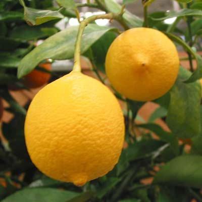 RoomClip商品情報 - レモン:リスボンレモン4~5号ポット[耐寒性のある人気品種 柑橘・かんきつ類苗木]