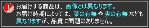 【甘柿苗木】 富有 2年生 接木苗 【ガーデンストーリーの果樹苗木】