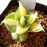 niアガベ 鮮明黄色斑 王妃雷神錦1123-07 現品販売 多肉植物 7.5cmポット