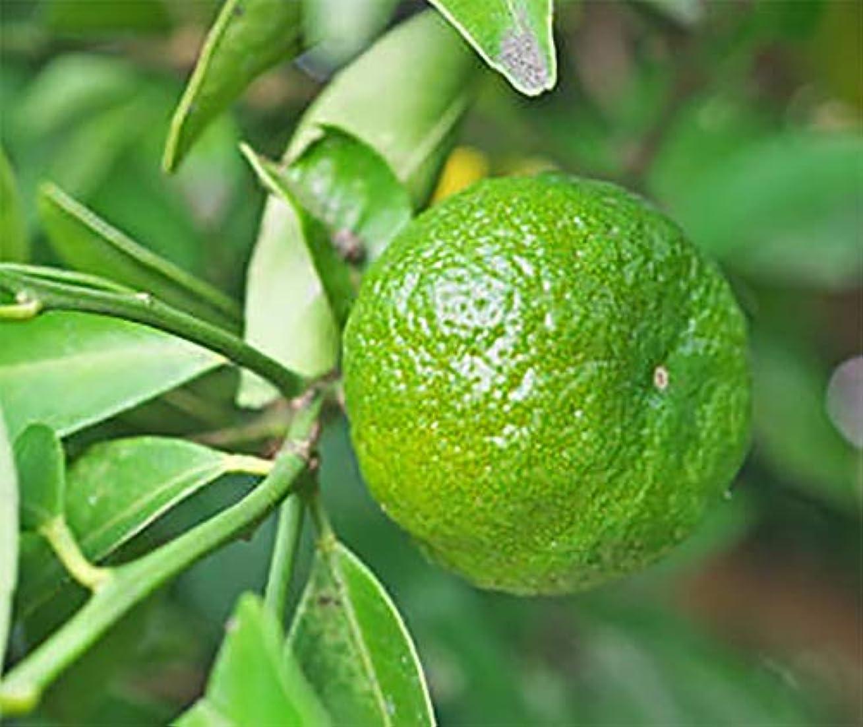 「シークワーサー」【果樹挿し木苗9cmポット/2個セット】【ポット苗なので年中植付け可能!!即出荷!!プライム送料込み価格!】シークワーサーは、沖縄の方言で『お酢(酸)を食わせる(加える)』という意味です。まだ青い酸味の...