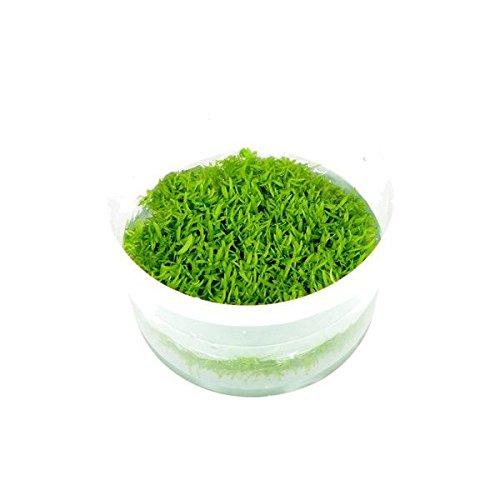 (Tropica・水草) ウォーターローン 1・2・grow!(tropicaトロピカ) 1カップ