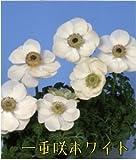 球根性宿根草 アネモネ ポルトシリーズ 全6品種 1株【一重咲ホワイト】