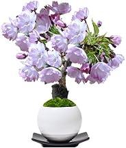 盆栽妙 桜のミニ盆栽 モダン丸鉢受け皿付き 樹高25cm×幅20cm