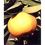 [糖度が高いアマナツ 12月~1月上旬収穫 柑橘・かんきつ類苗木]紅甘夏みかん4~5号ポット ノーブランド品