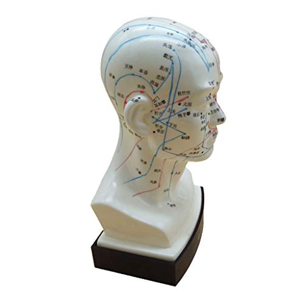 表現うなる降ろすマッサージ モデル 中国語 指圧ポイント 人間の頭 経絡モデル