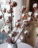 192.フラワーアレンジメントやインテリアに最適!オブジェとして!ホワイト・コットンの種子。 (White Cotton 5粒) 木綿の木。 [並行輸入品]