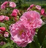 バラ苗 キャメロット 国産大苗6号スリット鉢 つるバラ(CL) 返り咲き中輪 ピンク系