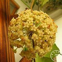ホーム盆栽ガーデンレアホヤオーキッド、ホヤカルノサ植物オーキッドフラワーフロアシリーズ100 PCS/パッケージ、#KU25ZO:2
