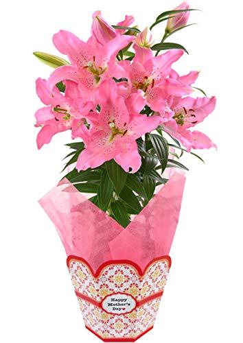 母の日 百合 鉢植え フラワーギフト 5号鉢 (ピンク)