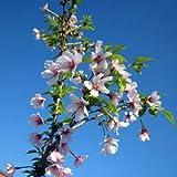 桜[サクラ・マメザクラ系]:湖上の舞[こじょうのまい]樹高80~90cm根巻きまたはポット入り