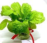 家庭用 野菜の水耕栽培キット「窓際族」(窓辺でサンチュ)