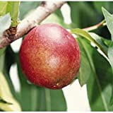 ネクタリン:フレーバートップ4~5号ポット[玉揃いがよく酸味が少ない中生種][苗木] ノーブランド品
