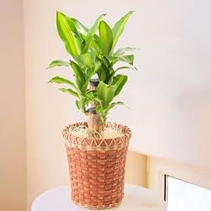 Amazon 幸福の木 ドラセナ マッサン 6号鉢 観葉植物 インテリア グリーン グリーン・観葉植物 オンライン通販